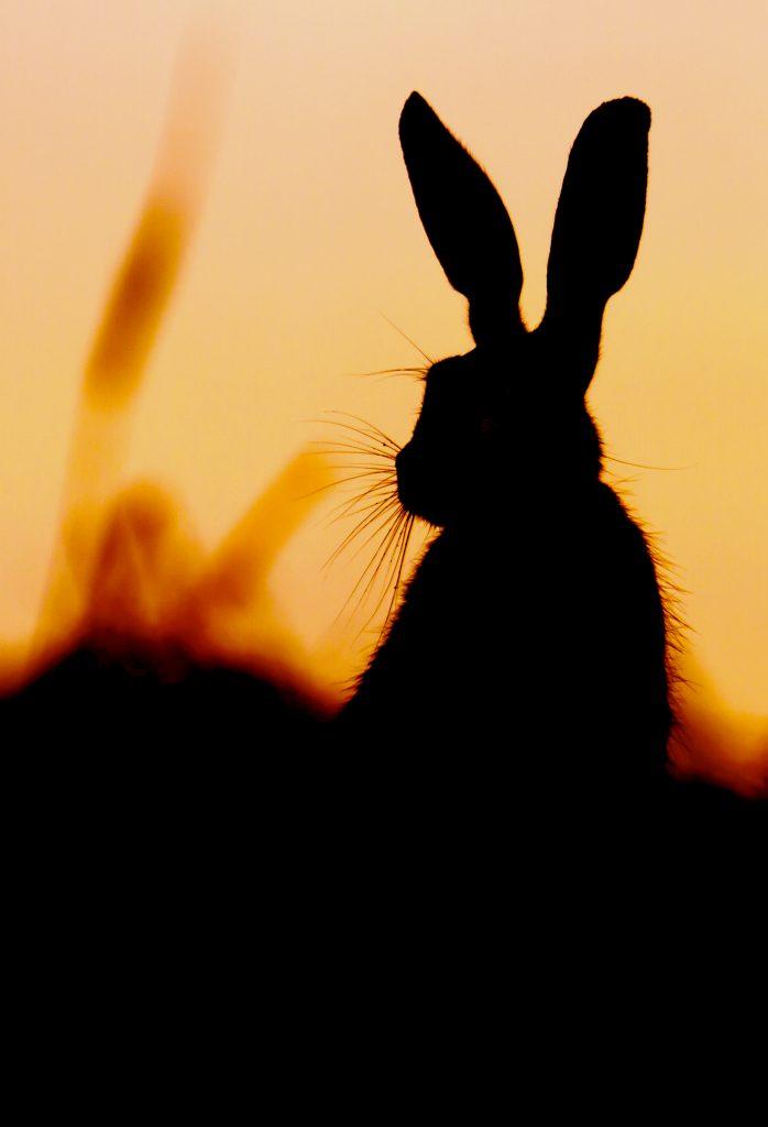 hare orange