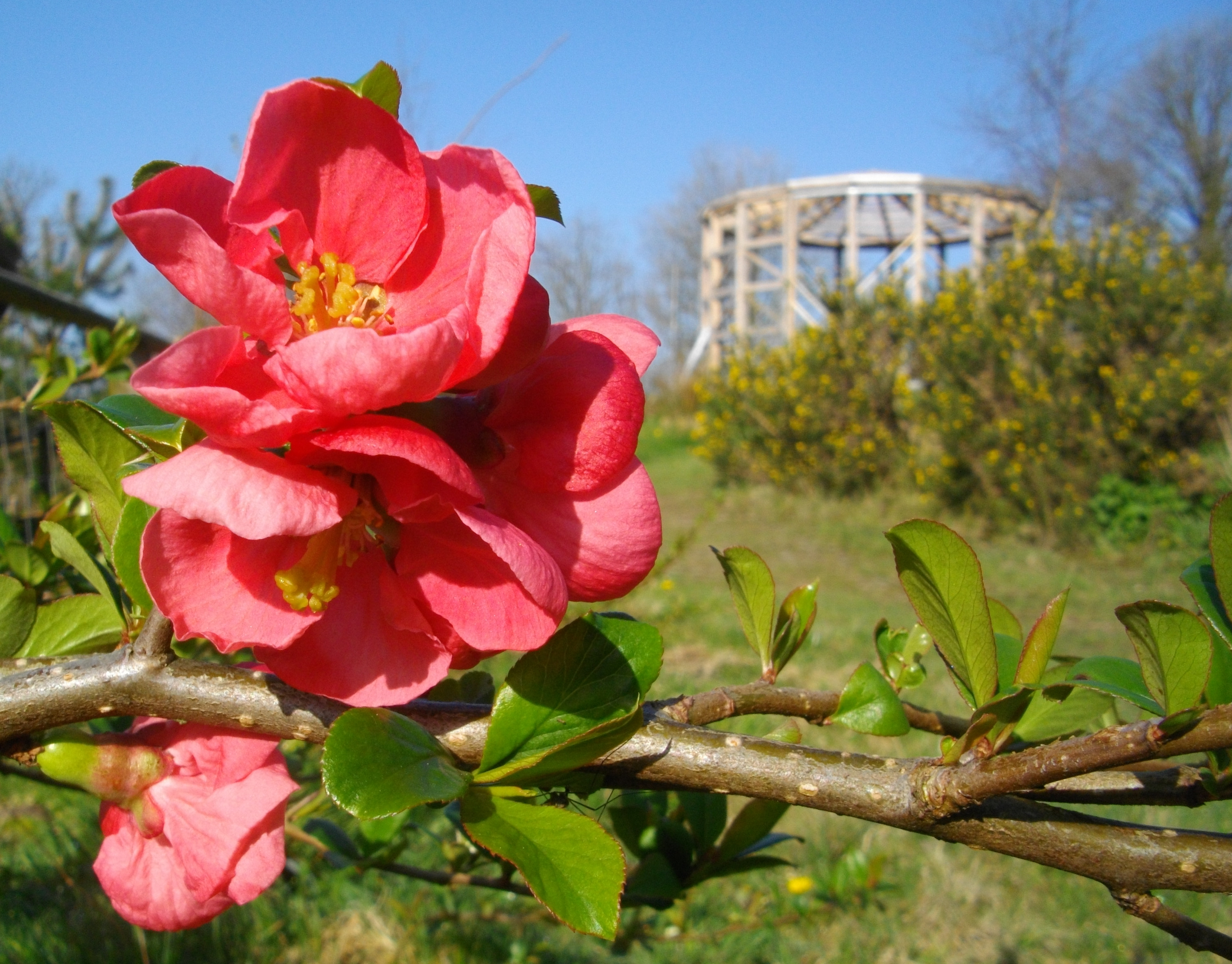 flowering quince and the lammas earth centre
